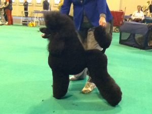 Charlie 'Parcheeni Pulled a Cracker' 1st in his class at Crufts 2013