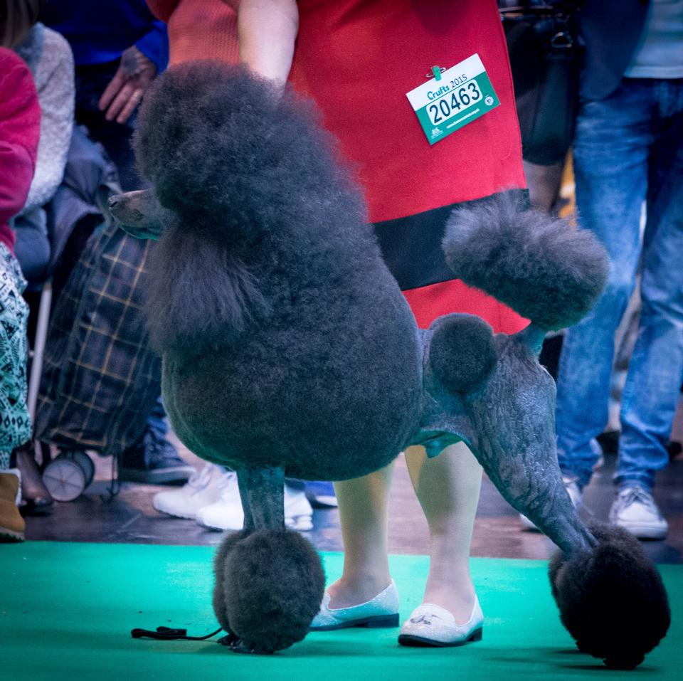 Charlie Stacked Crufts 2015